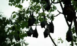 Go batty – observe a flying fox colony!