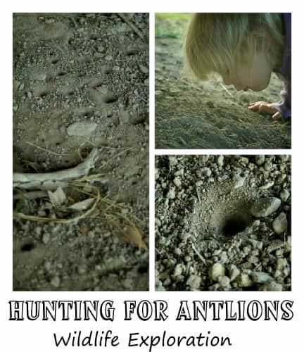 Antlion investigate