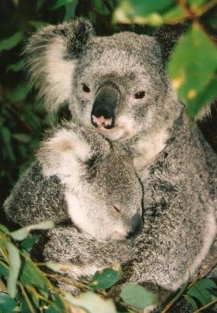 Bellow like a koala