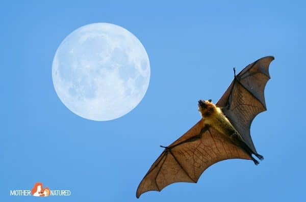 Observing Flying Foxes with Kids