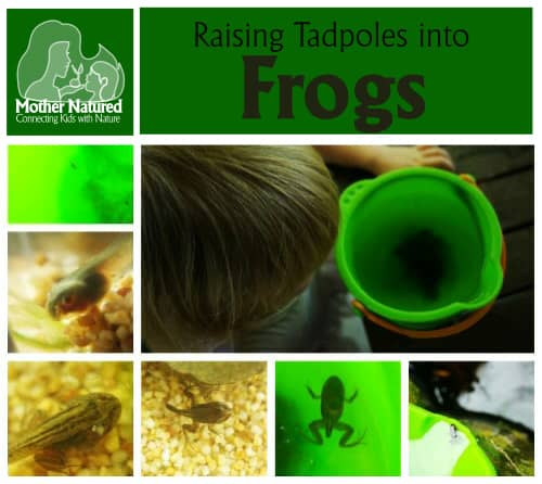 Raising Tadpoles into Fine Young Frogs