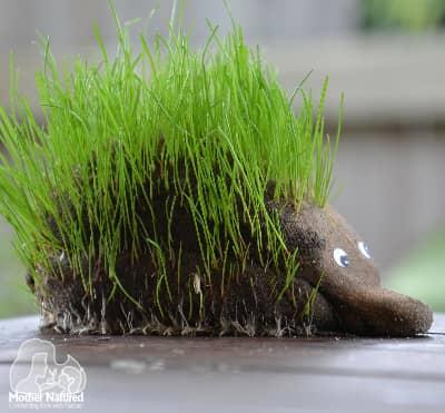 Echidna or Hedgehog grass head