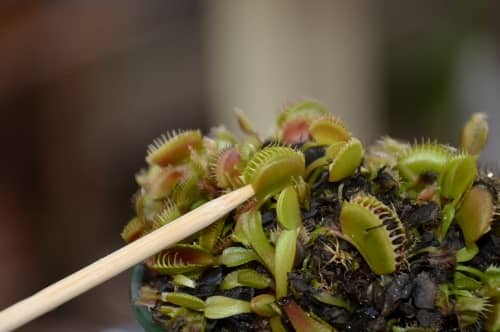 predator plants