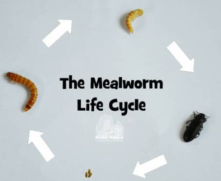 Meal worm life cycle