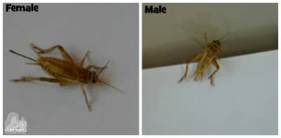 Male female Cricket