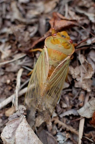 Green Grocer Cicada