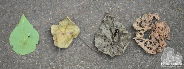 biodegrading leaves