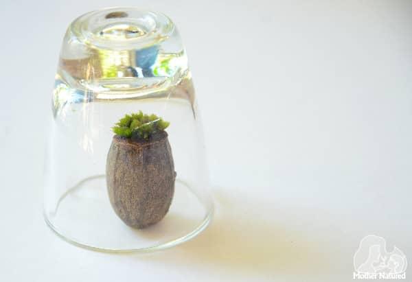 Gumnut terrarium