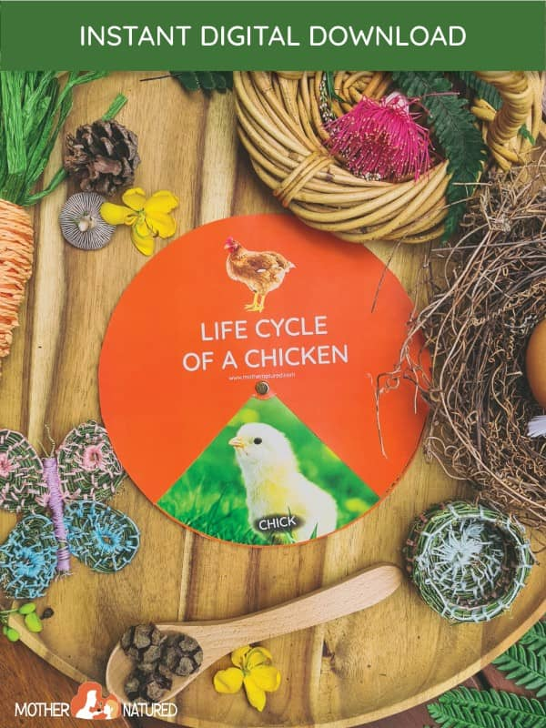Chicken Life Cycle Printables